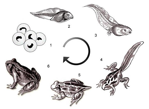 biologie metamorphose des frosches 01a lernen ben online bungen arbeitsbl tter. Black Bedroom Furniture Sets. Home Design Ideas