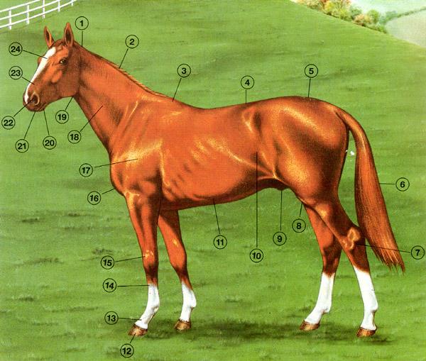 Biologie | Pferd (Anatomie) : 03a | lernen & üben | Online-Übungen ...