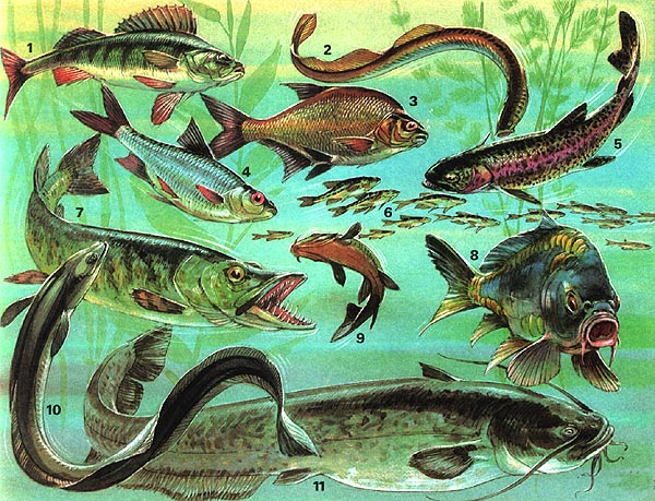 biologie s sswasserfische 01a lernen ben online bungen arbeitsbl tter r tsel quiz. Black Bedroom Furniture Sets. Home Design Ideas