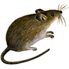 the mouse | la souris