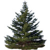 fir tree | sapin